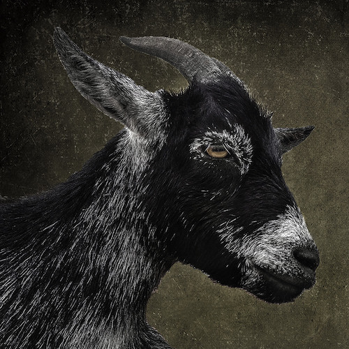 """Precious - Born into the herd on September 1, 2013, along with her sestra, Clover. Daughter of Bailey. One of the infamous """"red bandana"""" goats. Precious' horns grow back, and her coast is black with white throughout and white accents."""
