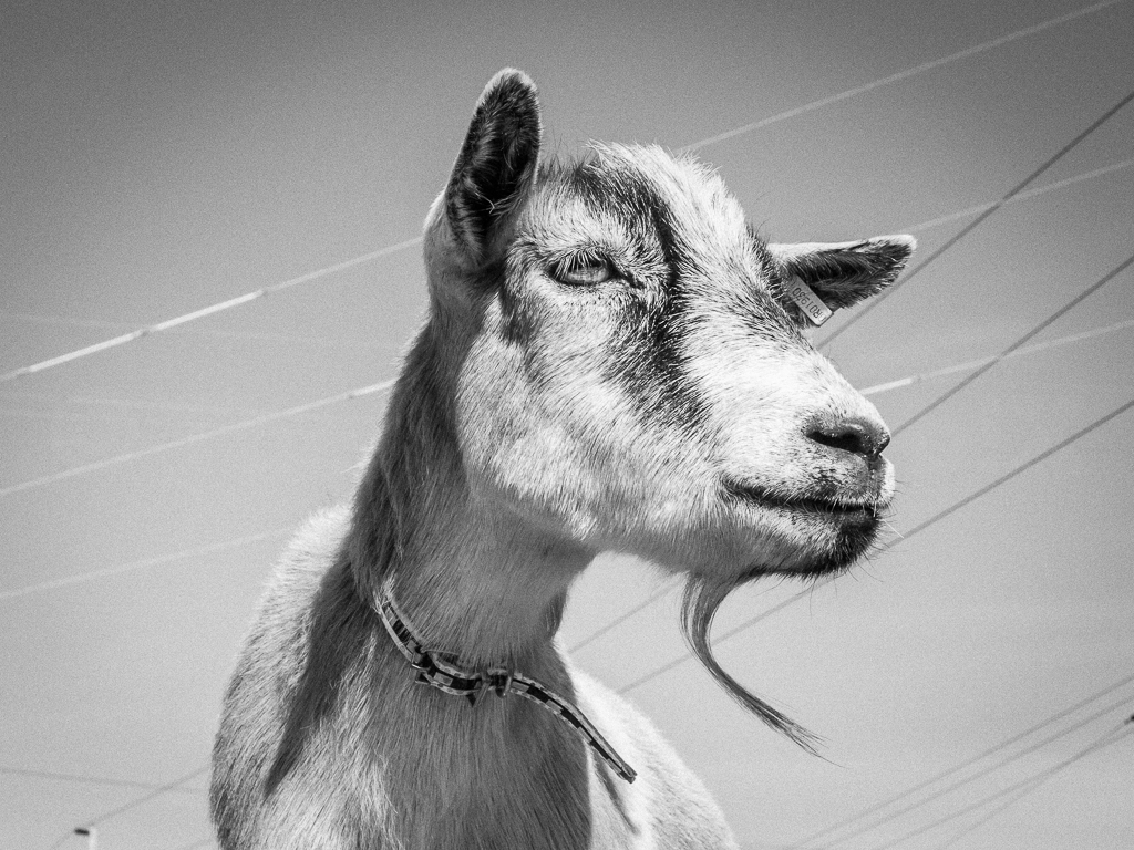 Notes - We are guests of this neighborhood.You are guests of these goats.This is their home.Not for sale. Not for rent. Not for food.
