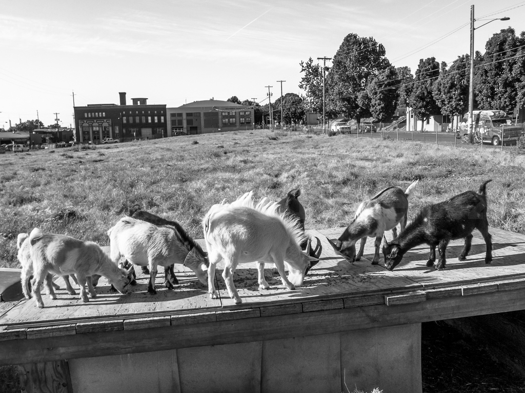 About Us - Portland's nonprofit resident herd, offering an oasis of rural community amidst the built, urban environment since 2012.