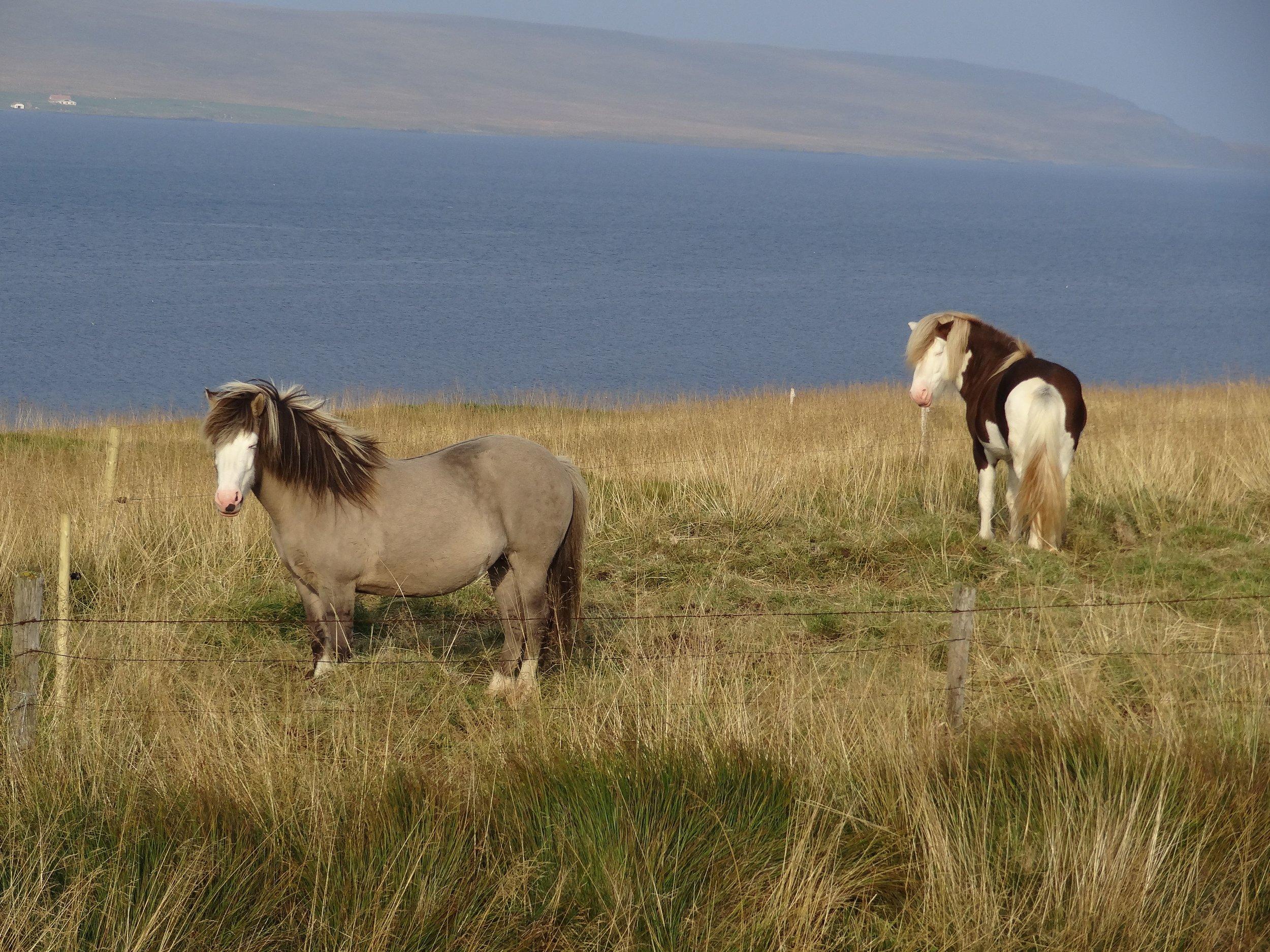 Icealandic horses.