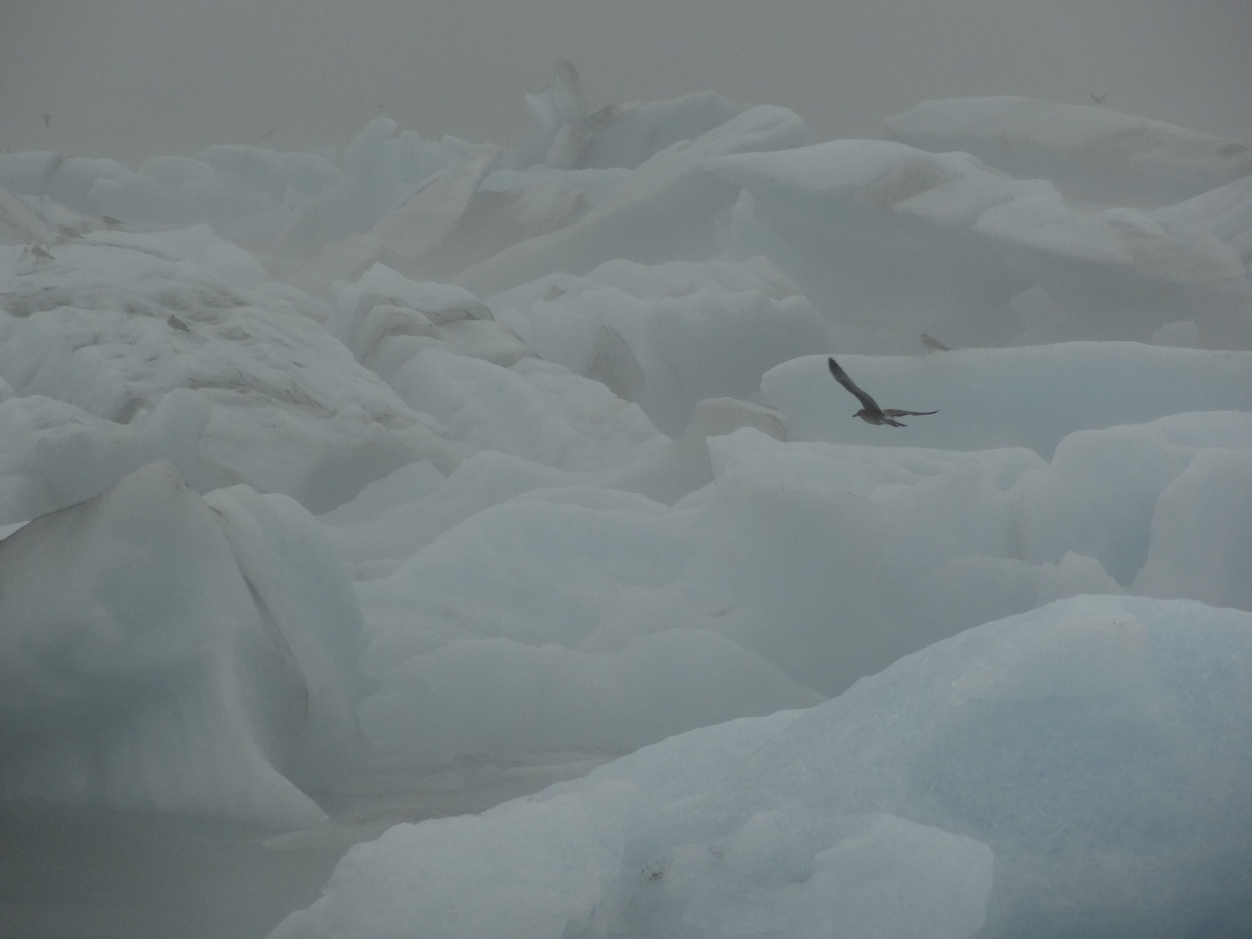 Gull over ice, southern Iceland.