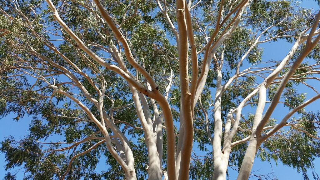 Ayers Rock Resort, gum tree.jpg
