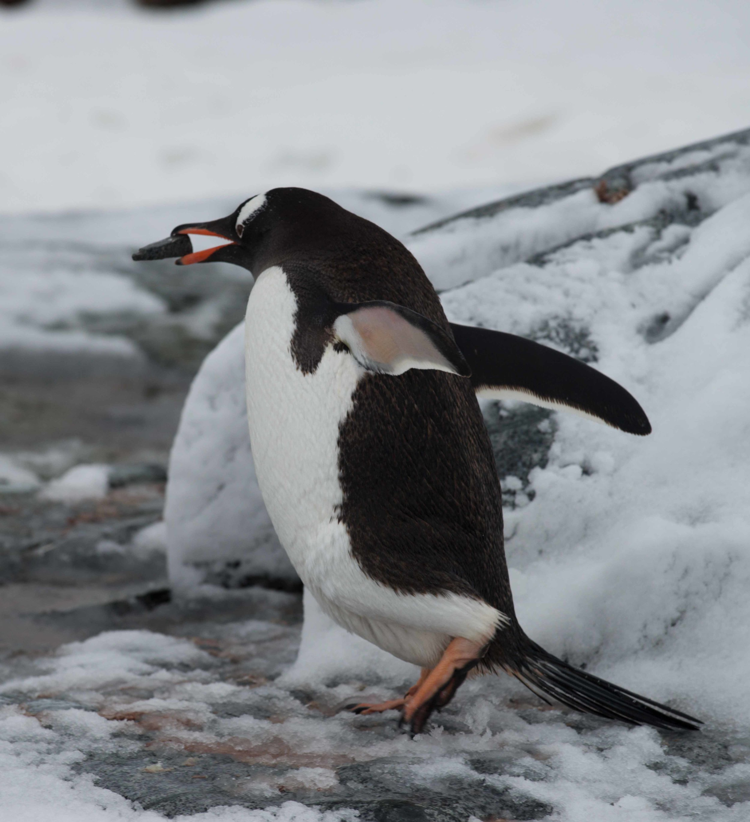 Gentoo penguin carries stones to his nest. Penguins breed in large colonies and form monogamous pairs for a breeding season, sharing incubation duties.