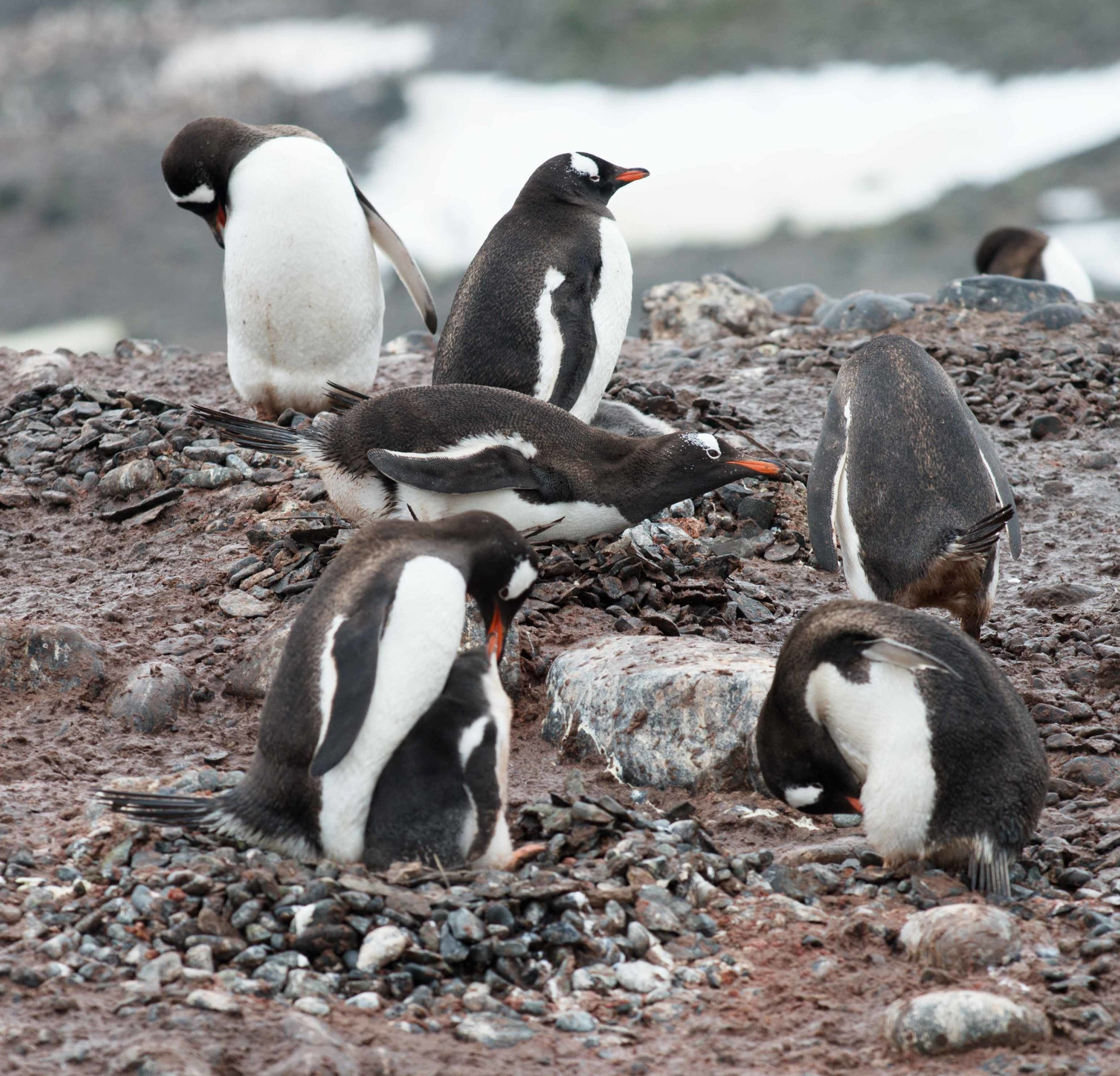Gentoo penguins with chicks.