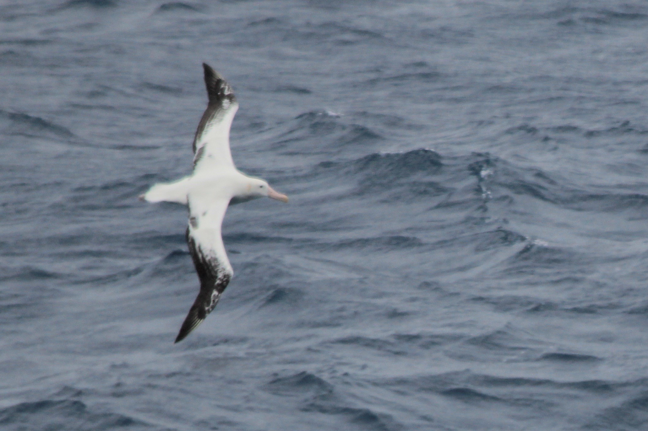 Wandering albatross in flight.