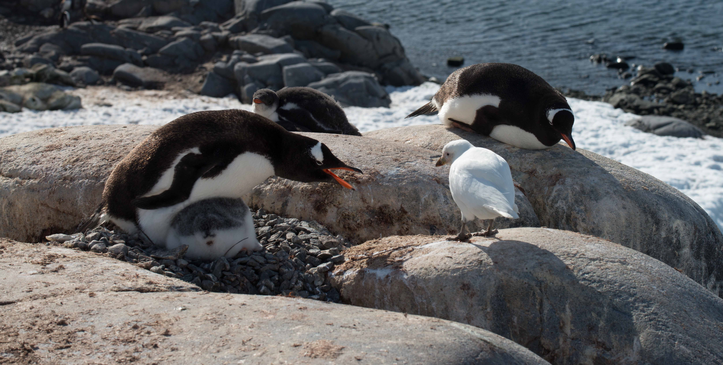 Gentoo penguins and snowy sheathbill.