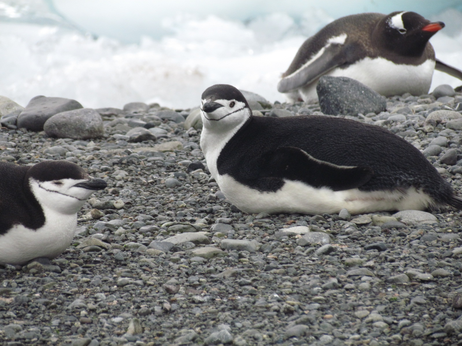 Chinstrap penguins in foreground, gentoo penguin in background right.