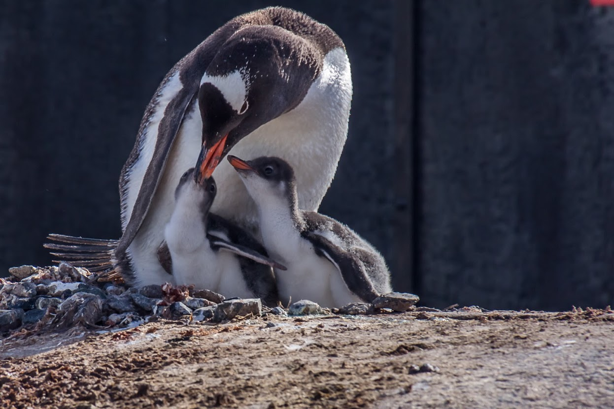Gentoo penguin with chicks.