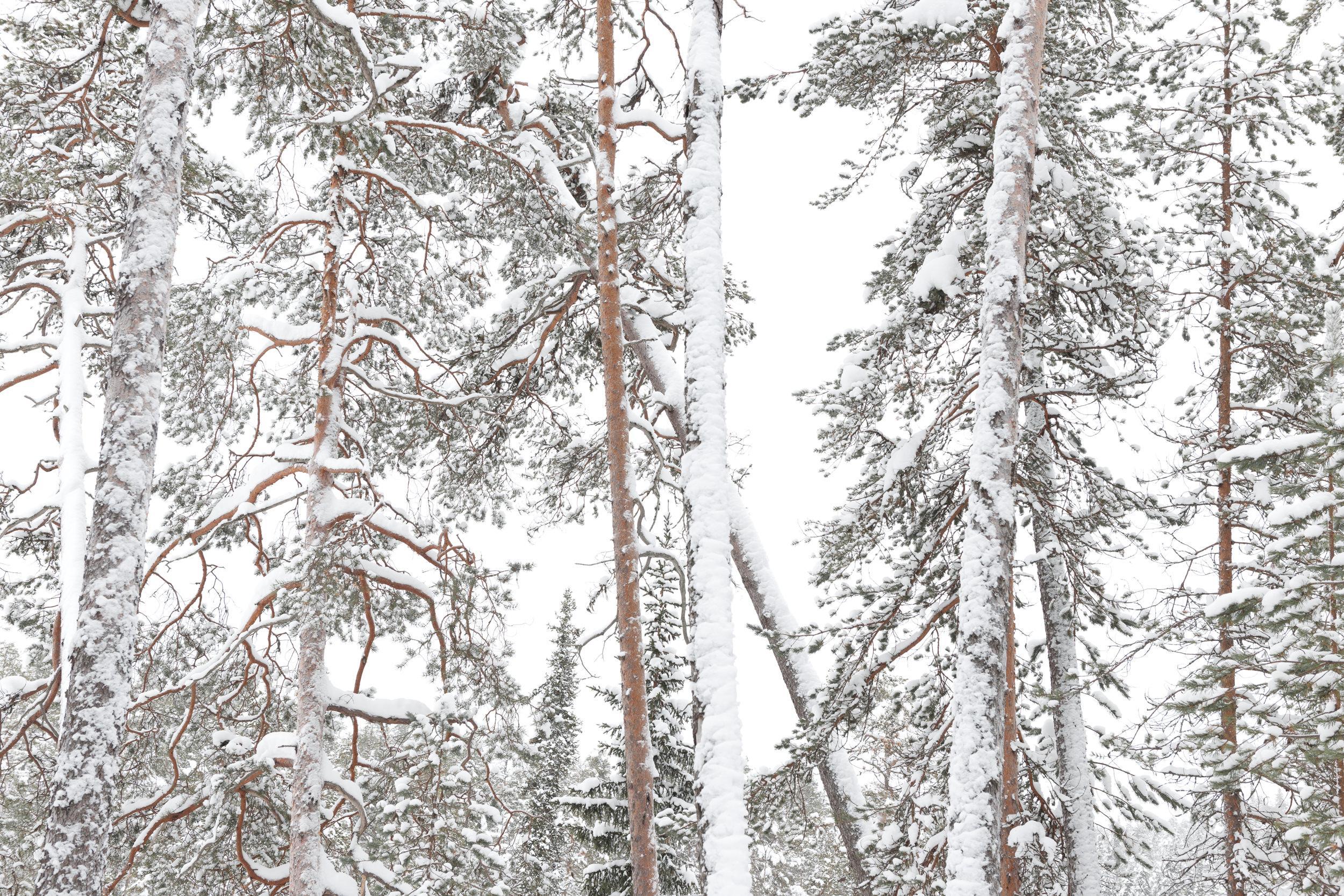 High key representation of the forest , Lapland, Rafael Rojas.jpg