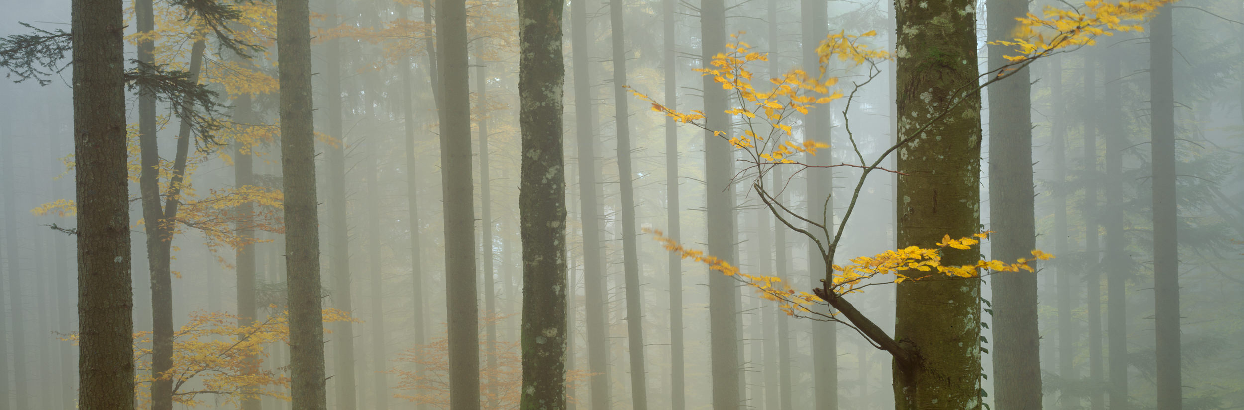 Isolation of one particular element of the forest and visual rythm given by repetition of vertical lines, Switzerland, Rafael Rojas.jpg