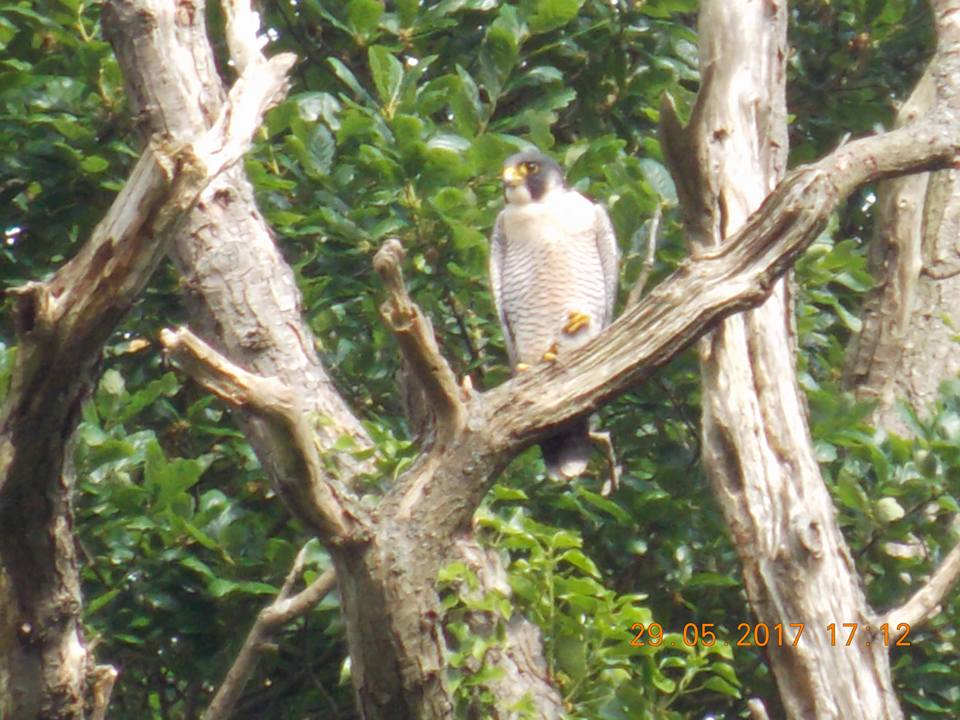 A Peregrine Falcon living near the bypass route