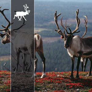 1 | REINDEER - This is easy. Short driving days on good paved roads. Very good quality hotels (4-5 stars) and a car for your luggage. In the evenings you will always have a three course meal! And before dinner you have time to relax... time for a drink by the lake, sea or the pool.