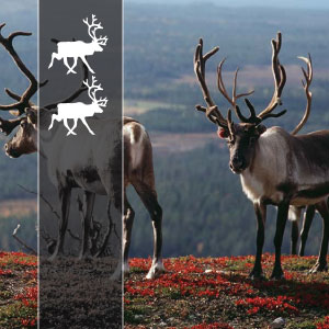 2 | REINDEERs - This is much like the trip with 1 reindeer. Differences are that the driving days vary and are a bit longer. Hotels are 3-4 stars. If there is a luggage car, it is mentioned in the section 'what is including the price'. Km per day between 150 and 350.