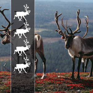 4 REINDEERs - On 4 reindeer tours we are driving allroad- bikes! The days can be short in kilometers but longer in hours depending on the weather- and road conditions because we are also driving on the gravel roads! Accommodation as on three reindeer tours!