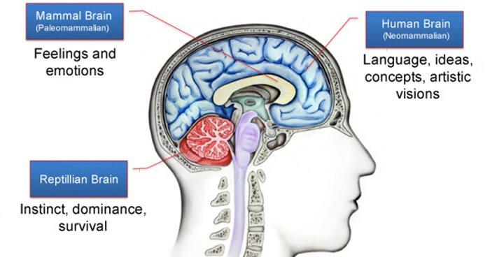 McLeans-triune-brain.jpg