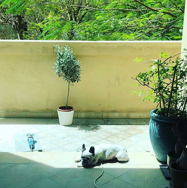 Happy Thursday! Meet yoshi and her mum one of our loyal supporters based in Dubai... it's known that dogs are great for mental wellbeing and encourage outdoor activities. Vitamin D is a hormone naturally produced in the body from safe sun exposure during optimal times of the day! It can be achieved via a simple dog walk or sitting in the sun.. happy basking ☀️ #mydubai #vitamind #happiness #friendship #womanempowerment #entrepreneurlife #sunset #sun #vitaminddeficiency #supplements #health #frenchbulldog #dogsofinstagram
