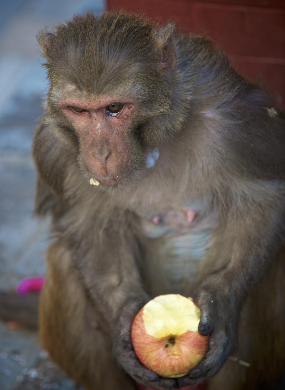 A monkey at Swayambhunath Temple in Kathmandu, Nepal.  Image by New Orleans based travel photographer, Marc Pagani - marcpagani.com