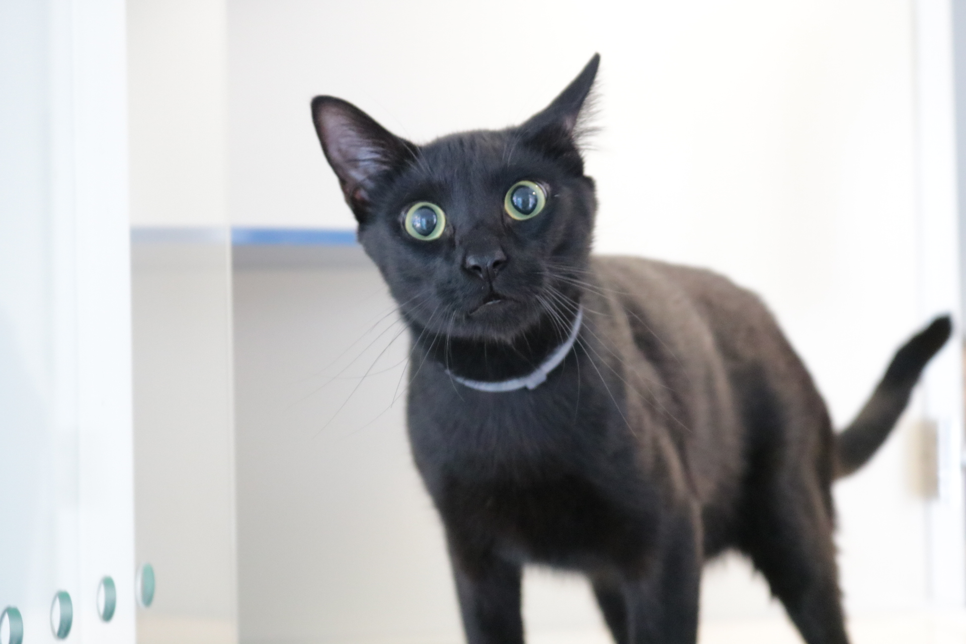 This one is called Bernardo. He's worried he'll get overlooked in a sea of black cats.