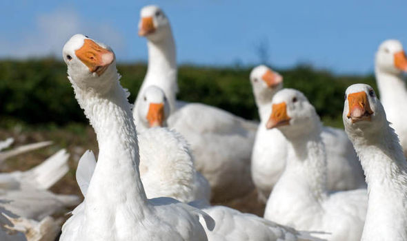 Geese-744811.jpg