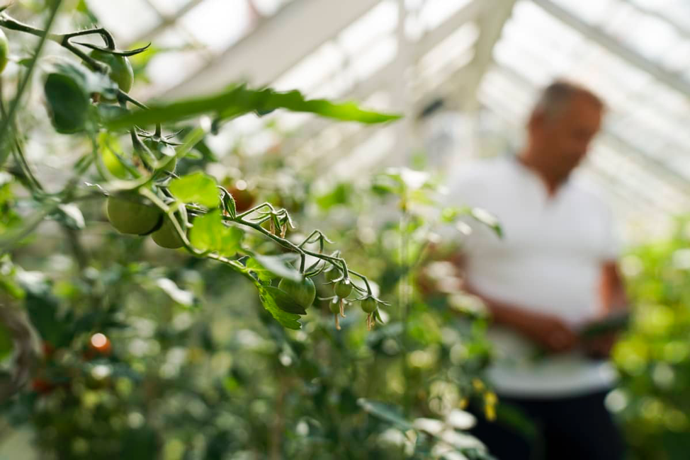 Markku Wilenius harvesting tomatoes in his greenhouse. He says decisive leaps forward are needed to fight climate change and if anyone, Finland, a small and agile country, can do it.