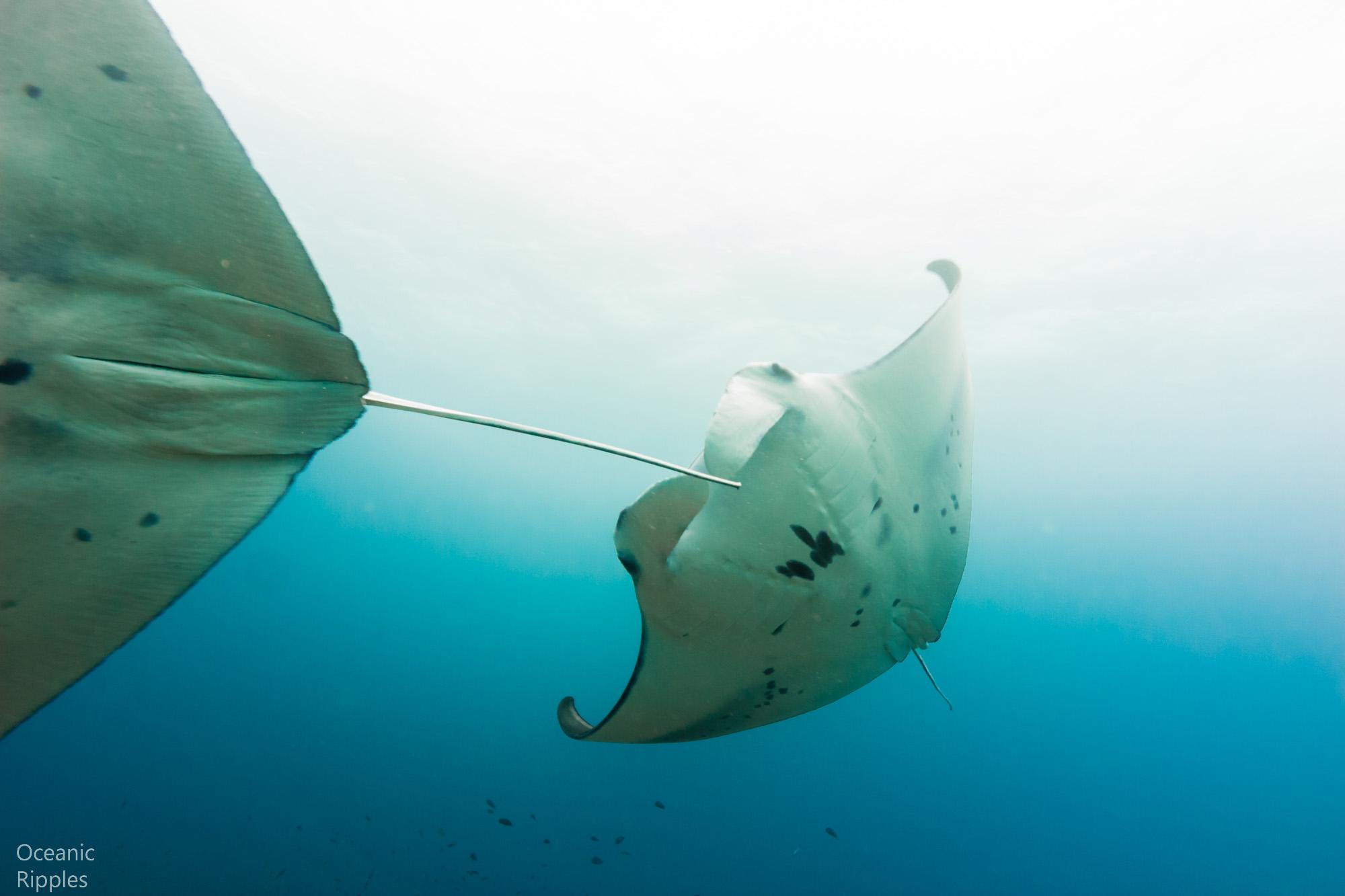Mantas and Whale Sharks-2.jpg