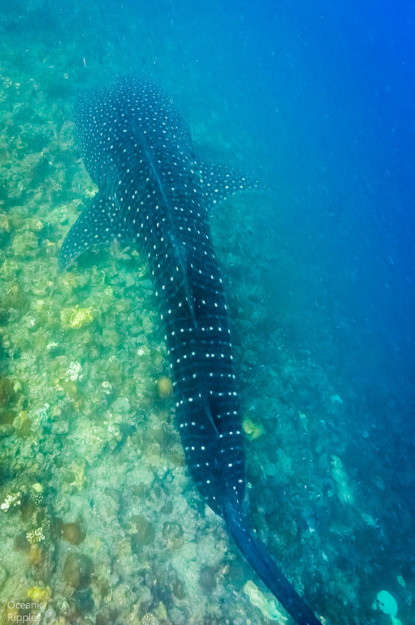Mantas and Whale Sharks-3.jpg