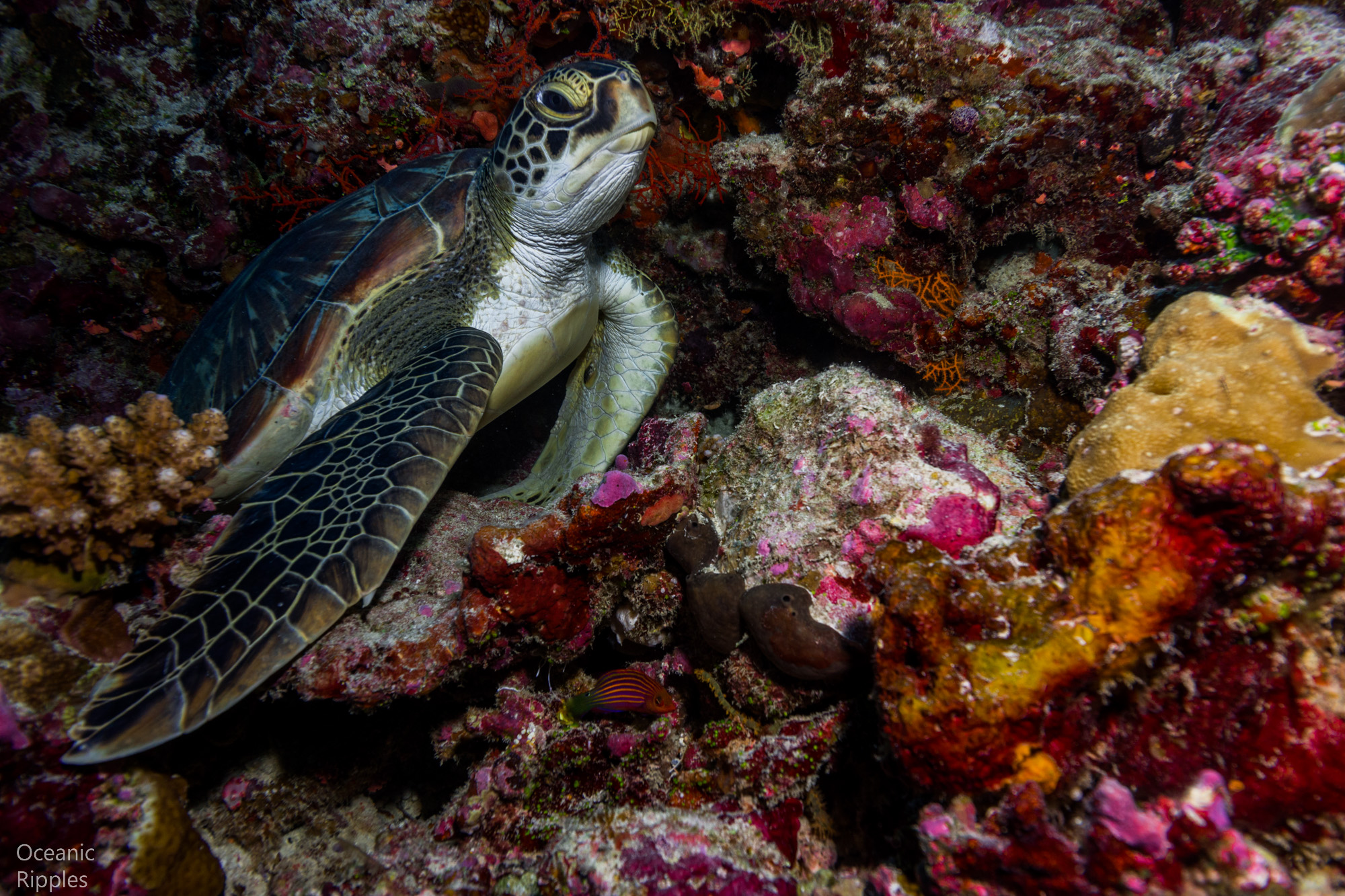 Turtle in the Coral