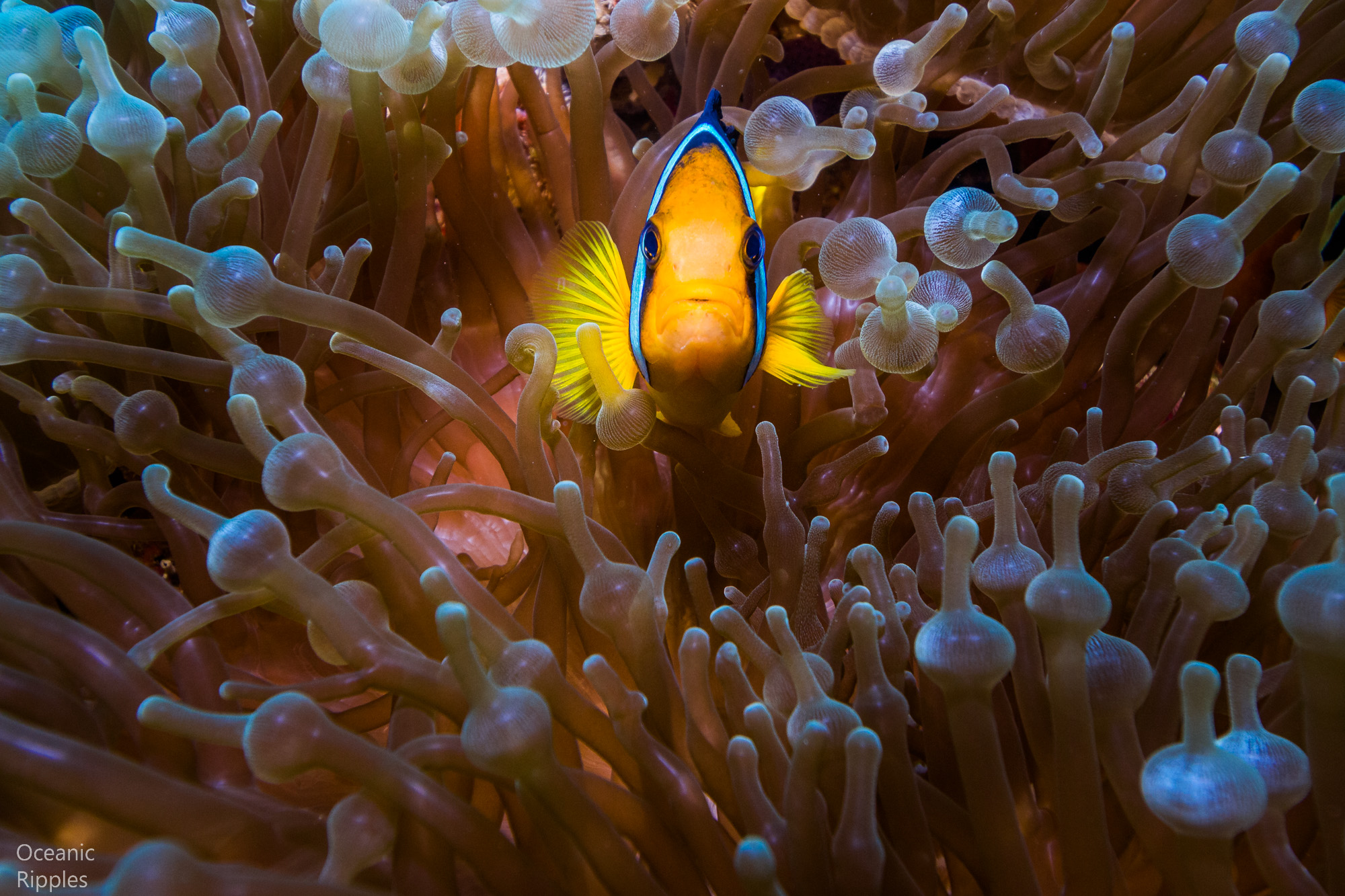 Stunning Anemone Fish in Coral