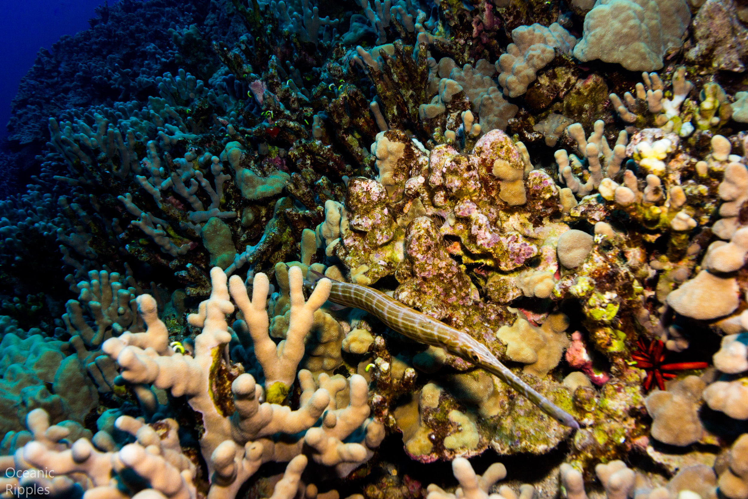 Trumpet fish on coral reef