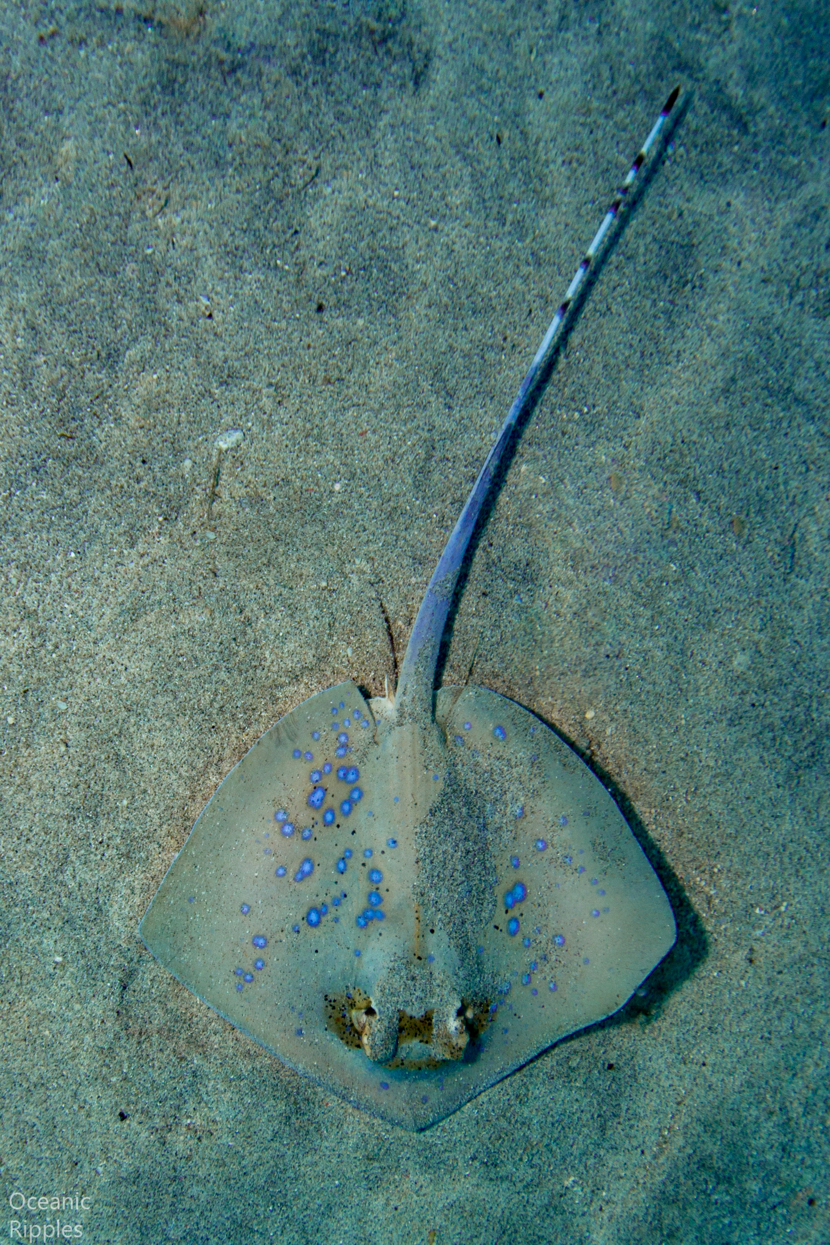 Copy of Blue Spotted Stingray at Bali
