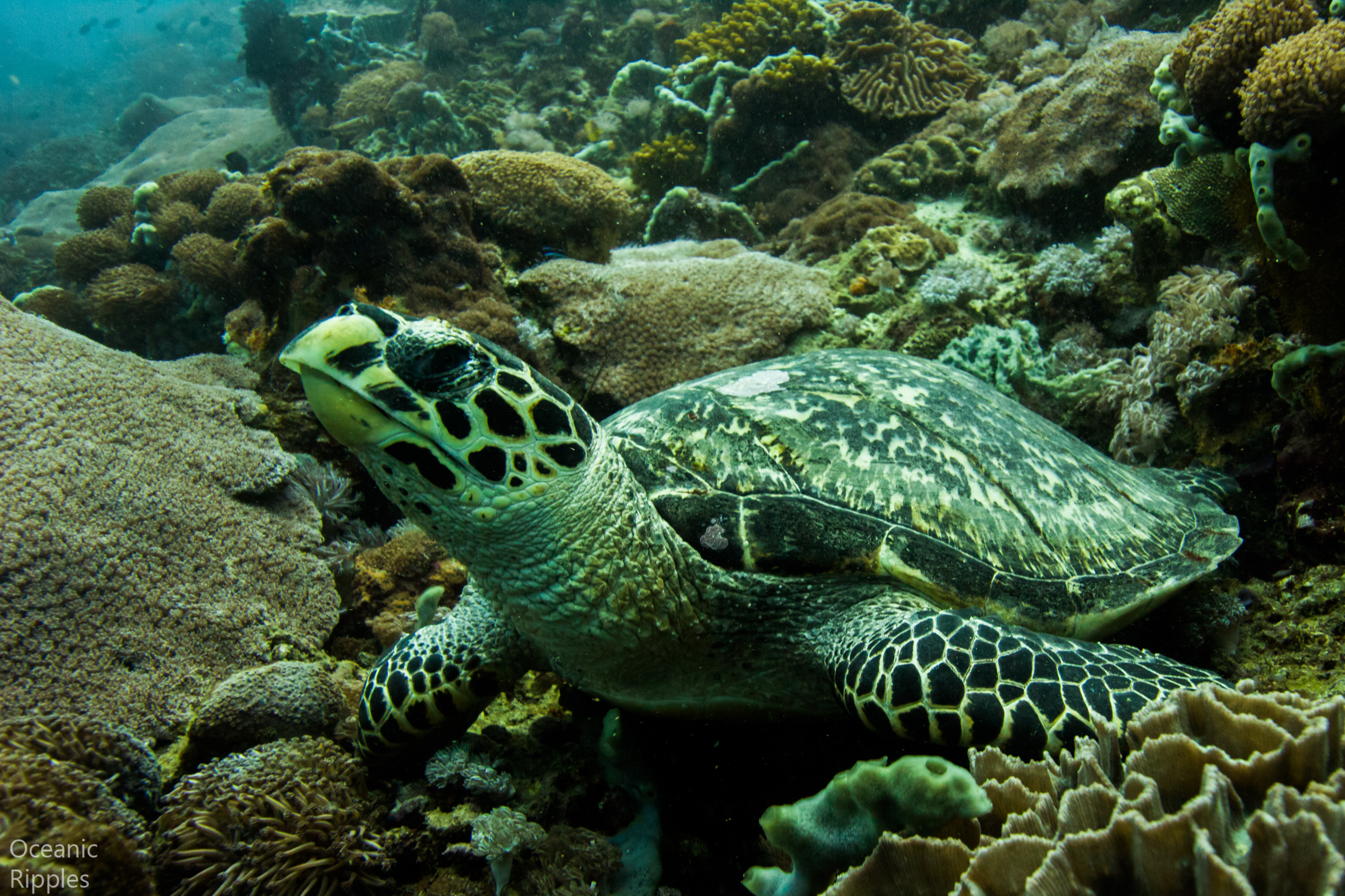 Copy of Turtle Underwater at Bali