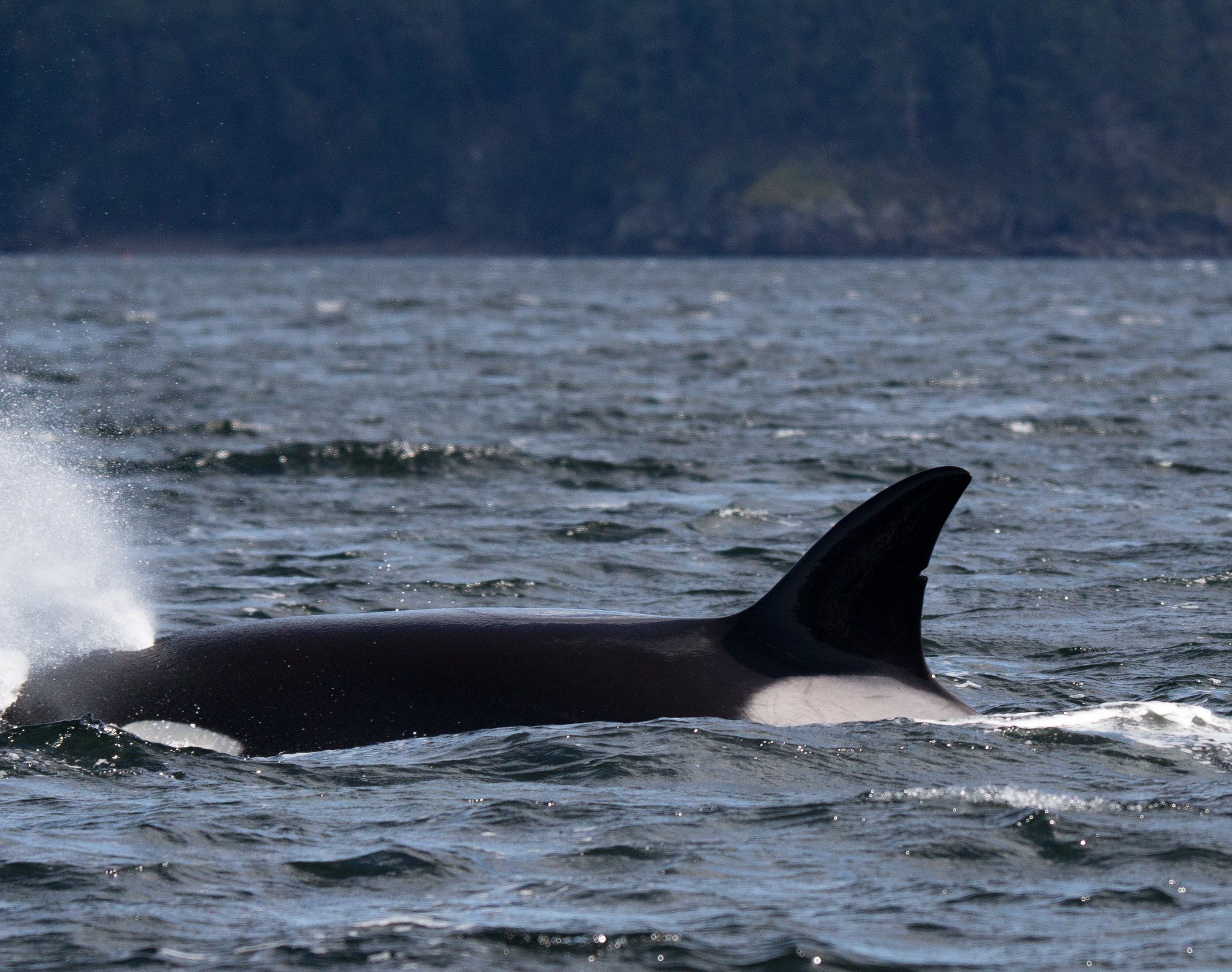 T37A surfaces after a successful seal hunt.Photo by Natalie Reichenbacher, cropped and zoomed.