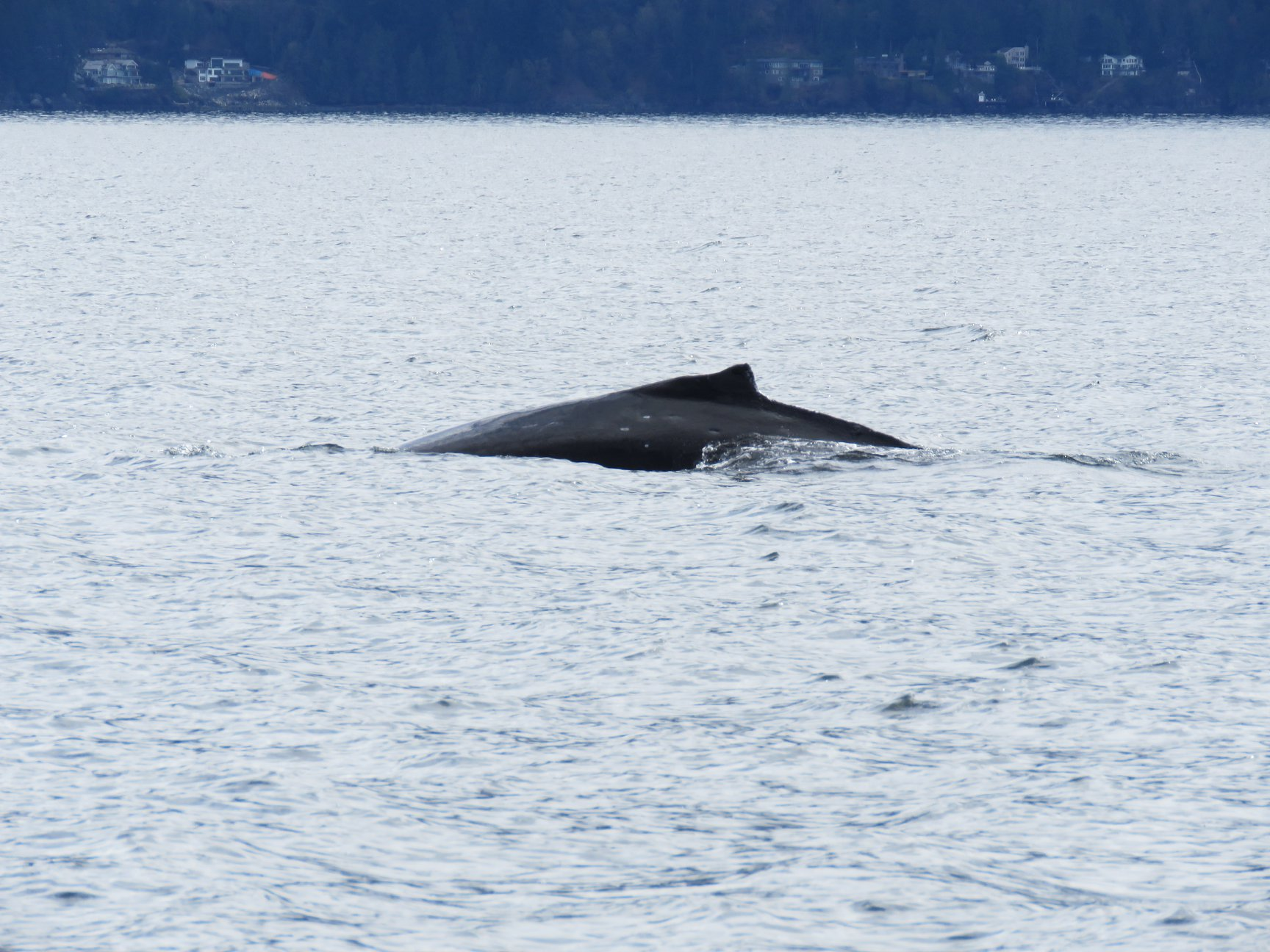A juvenile humpback whale surfaces in Howe Sound. The circular markings on its back are from cookie cutter sharks, found in tropical seas where this whale spent the winter. Photo by Rodrigo Menezes
