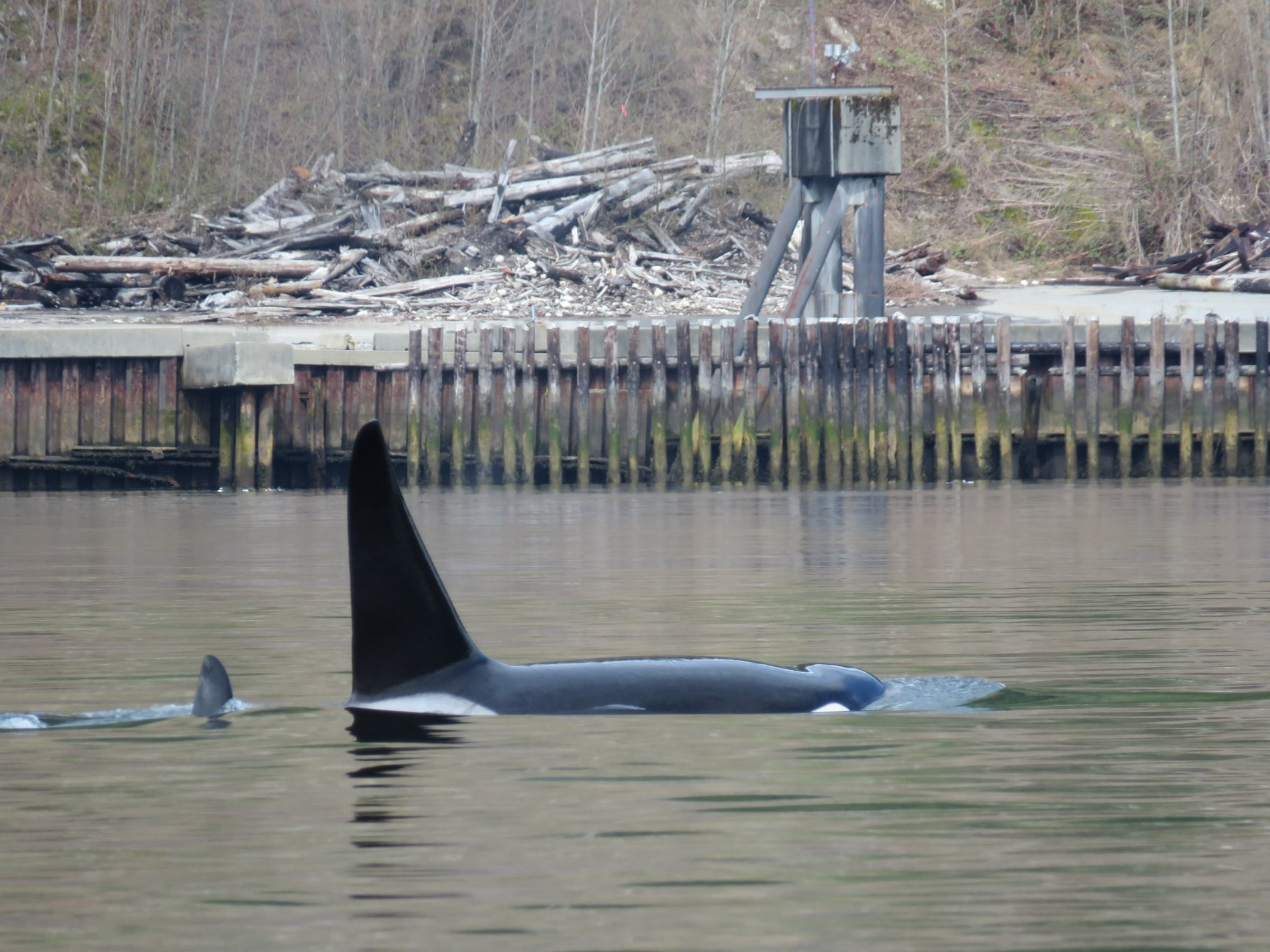 After some hunting, T102, a 34 year old male surfaces near Squamish in Howe Sound. Photo by Rodrigo Menezes, cropped and zoomed.