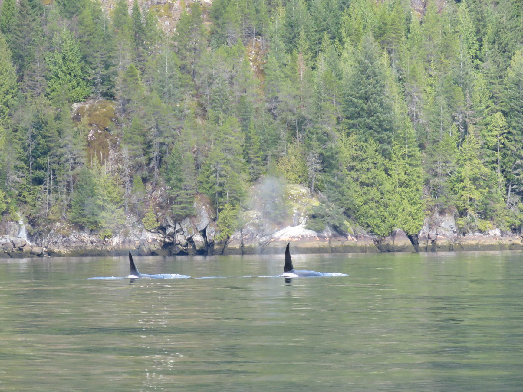 Orca brothers surfacing infront of a steep hillside of Douglas firs and Cedar trees. Photo by Rodrigo Menezes.