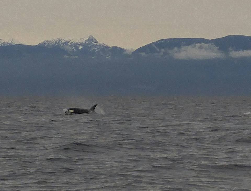 A transient (Bigg's) orca surfaces in choppy seas. Photo by Val Watson.