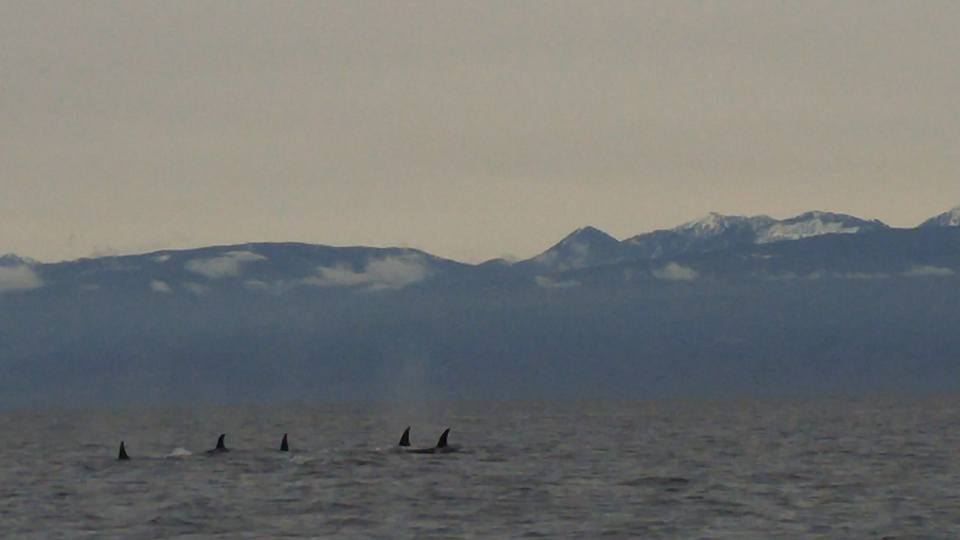 Part of the T124A family resting near the Gabriola island shores. Photo by Val Watson.