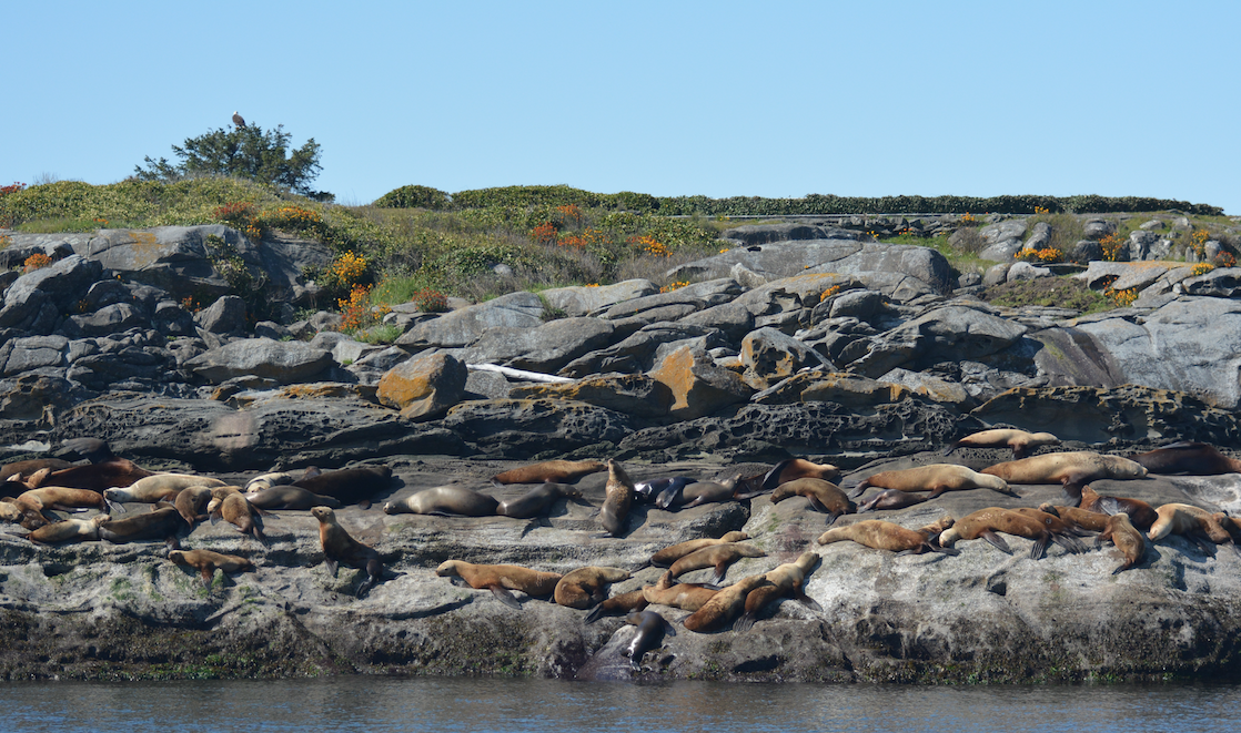 Tons of Steller sea lions at Entrance island, and can you spot the bald eagle? Photo by Alanna Vivani.