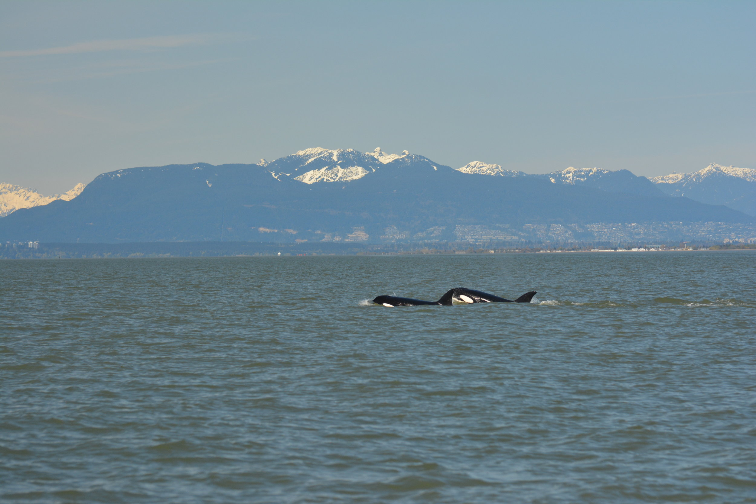 Whales from the T36A pod surfacing with BC's coastal mountains in the background. Photo by Lili Simon.