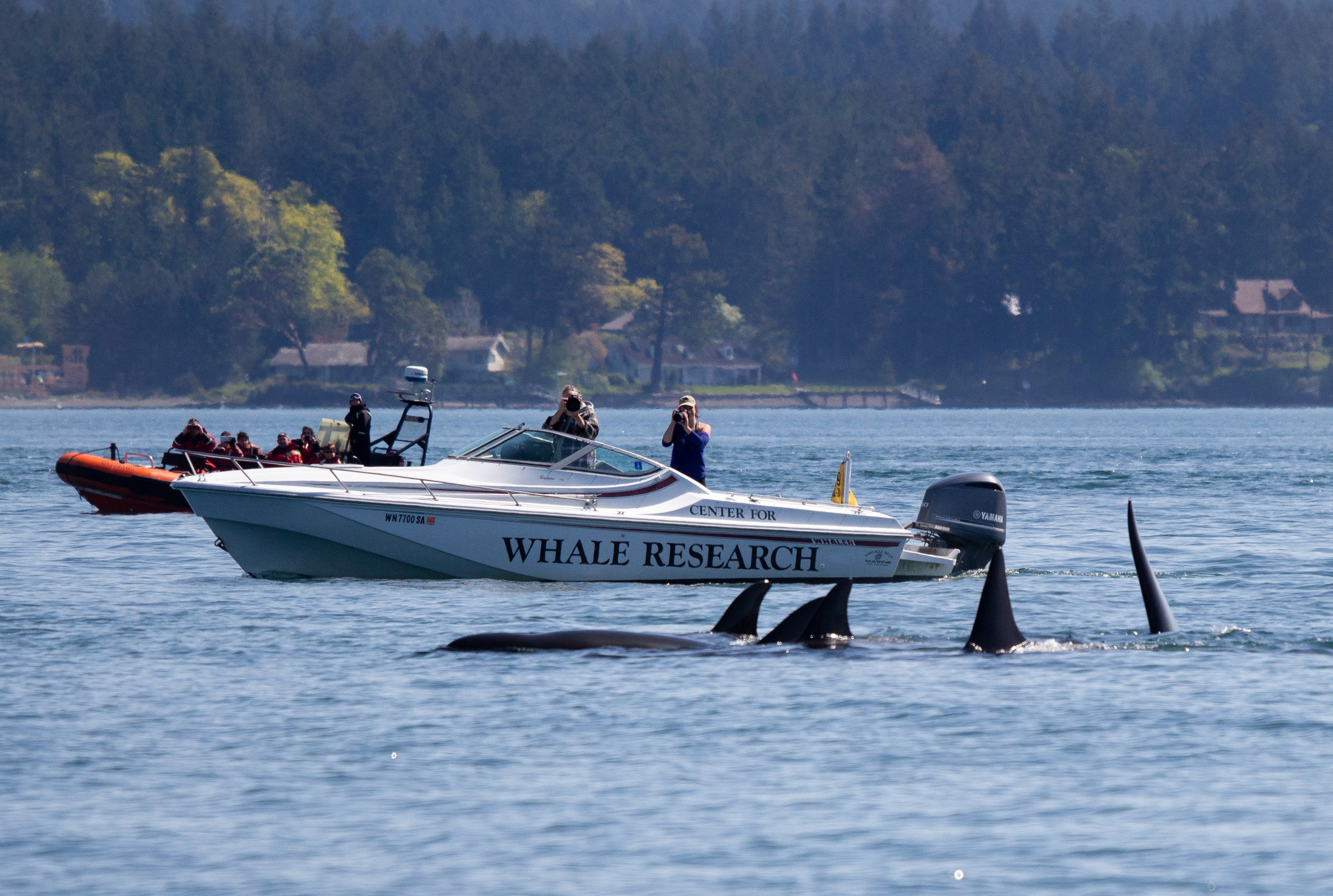 We can learn so much about these whales just by observing and taking photos. Photo by Natalie Reichenbacher.