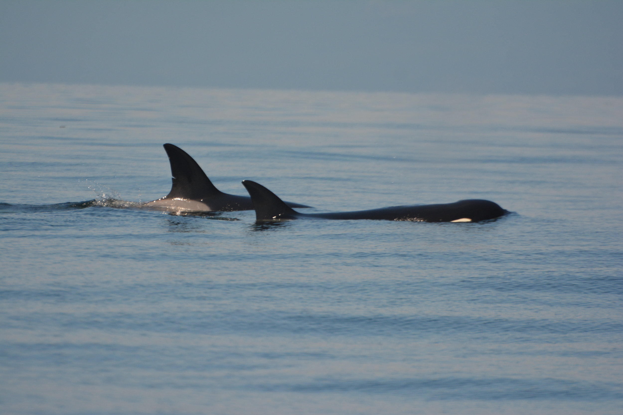 T36A1 in the background, notice the nick halfway down the dorsal fin! Photo by Val Watson.