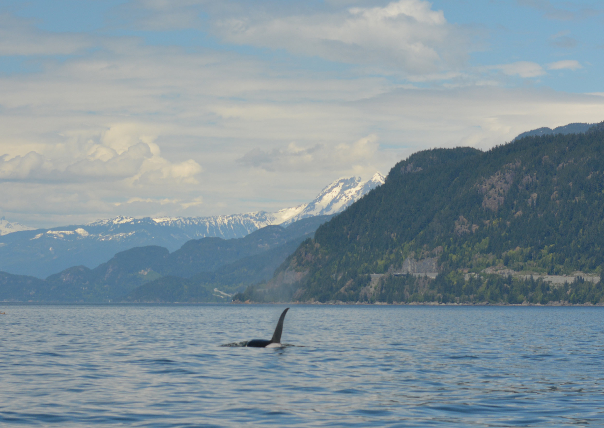 Whales are big, but mountains are bigger! Beardslee surfacing in Howe Sound. Photo by Mike Campbell.