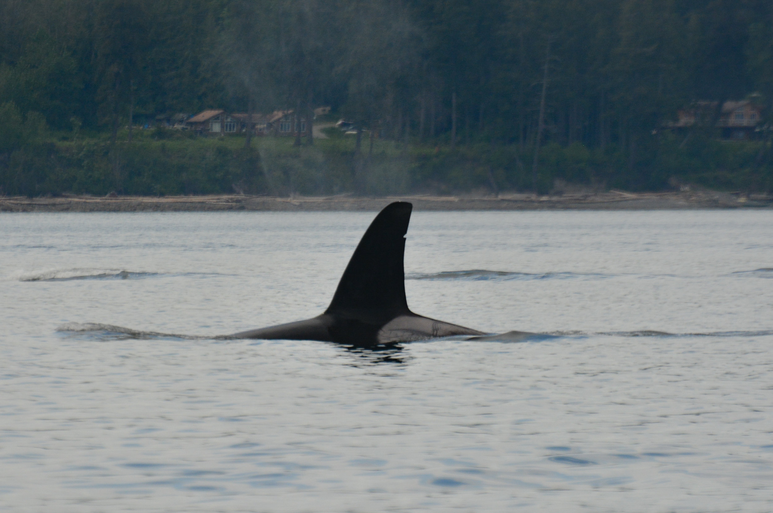 T19B's tall, tilted fin and saddle patch full of scars! Photo by Alanna Vivani
