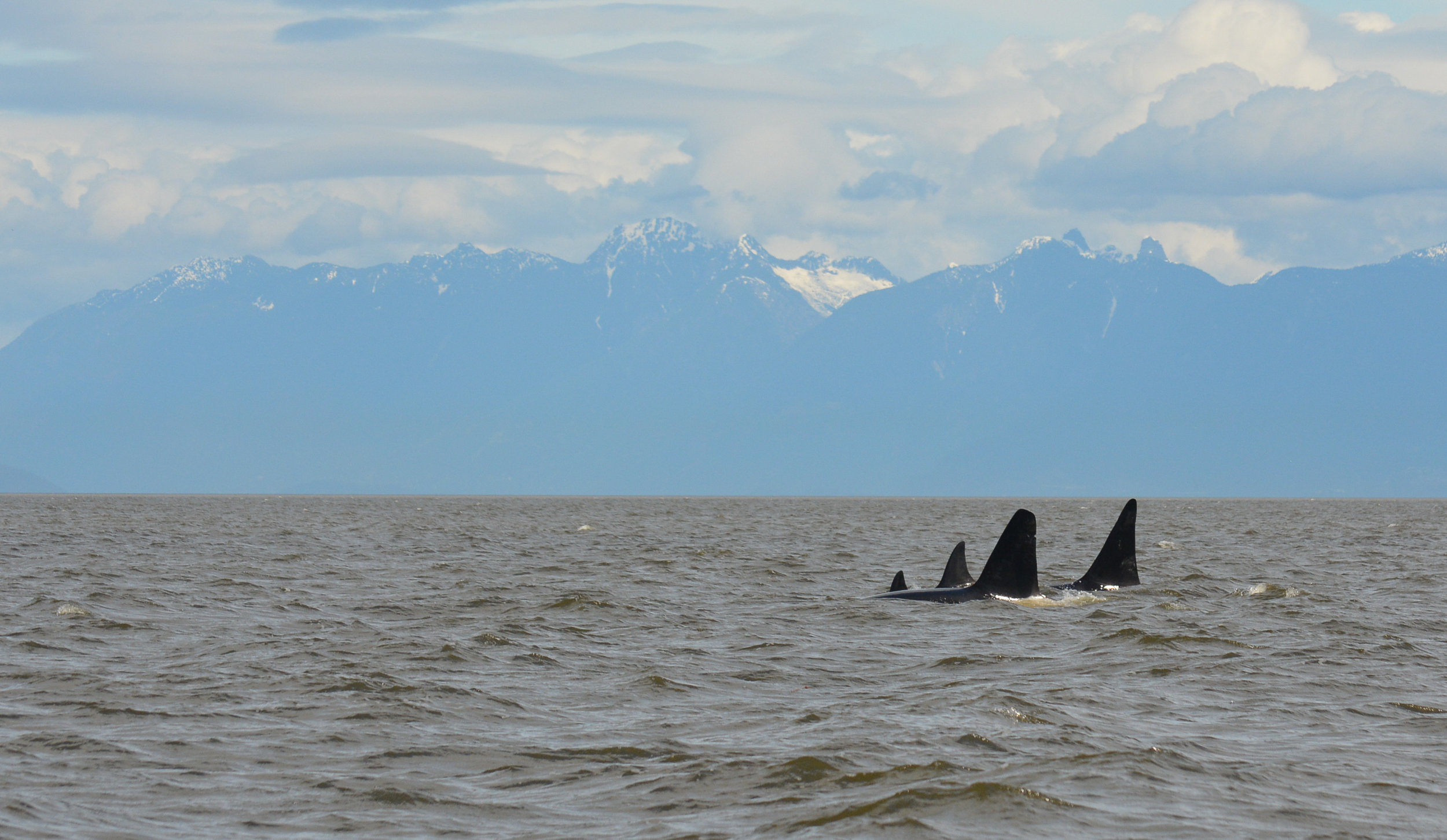 All four whales surfacing together. Photo by Val Watson