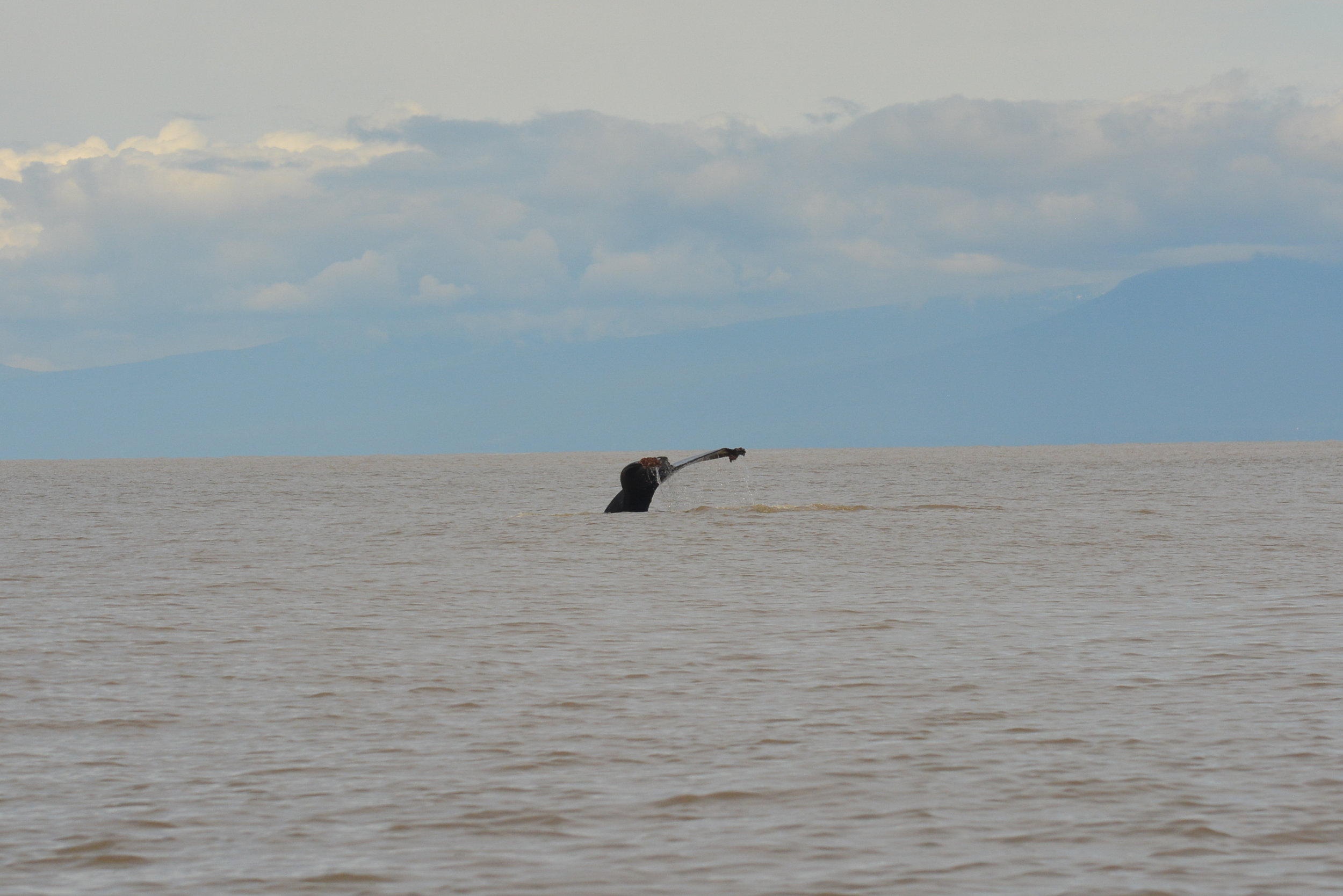 Humpback whale raising its fluke before a deep dive. Photo by Alanna Vivani
