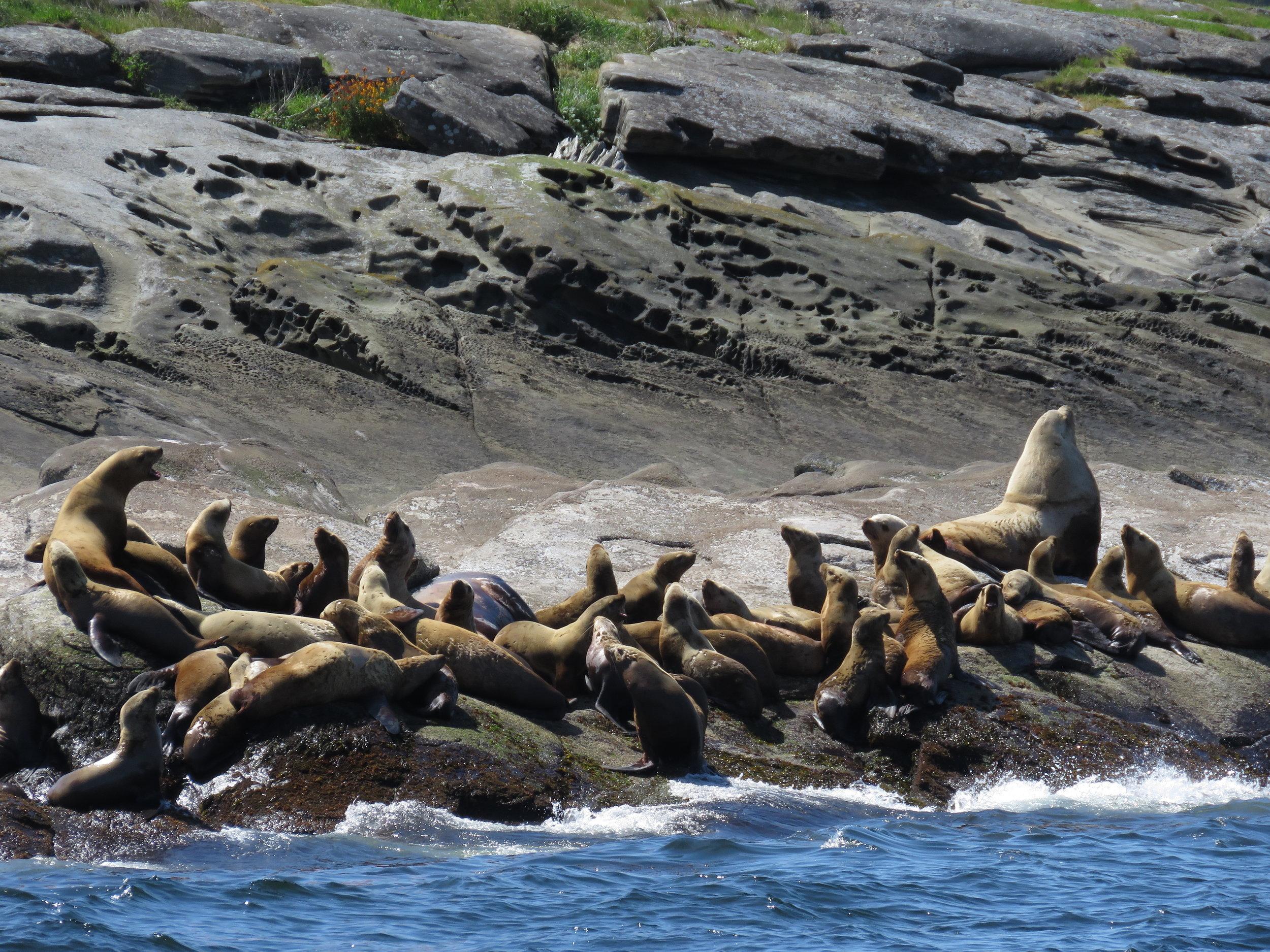 Steller sea lions enjoying the sun. Photo by Rodrigo Menezes