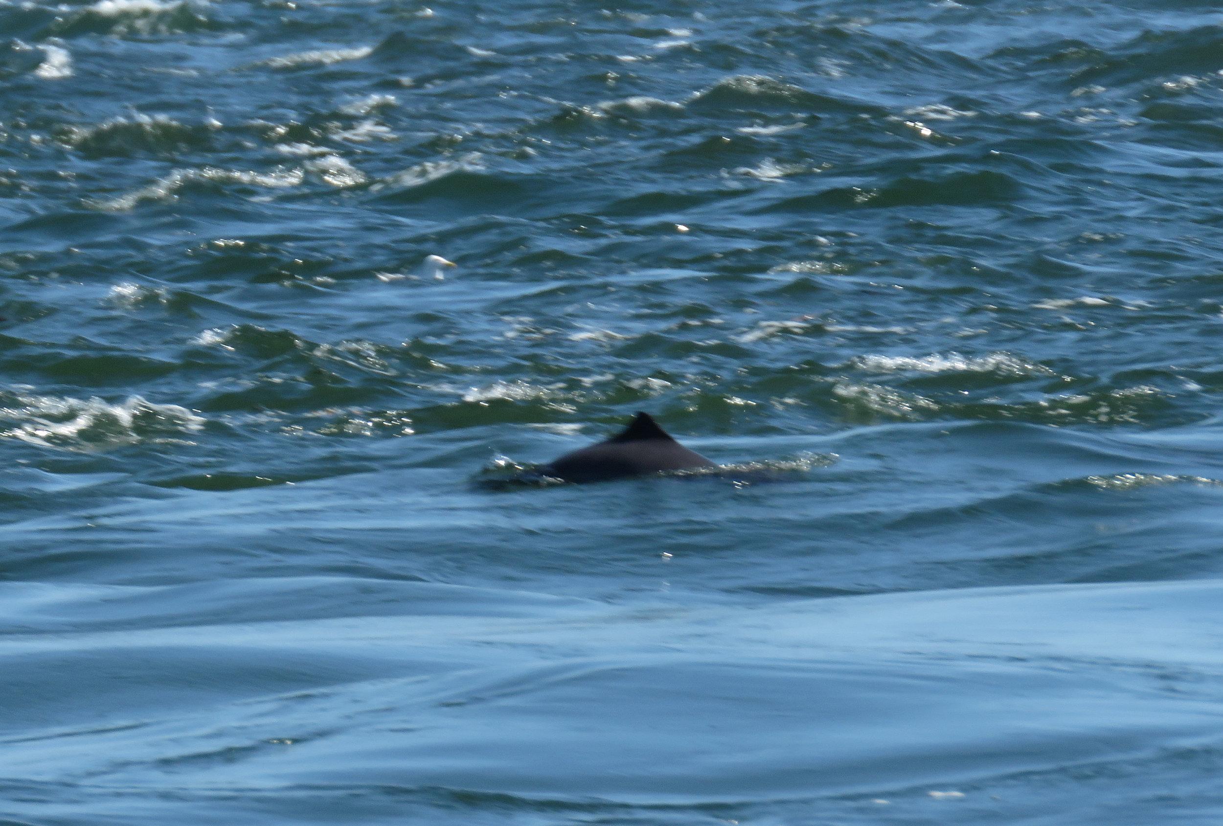Harbour porpoise swimming near to the Orcas.Photo by Rodrigo Menezes