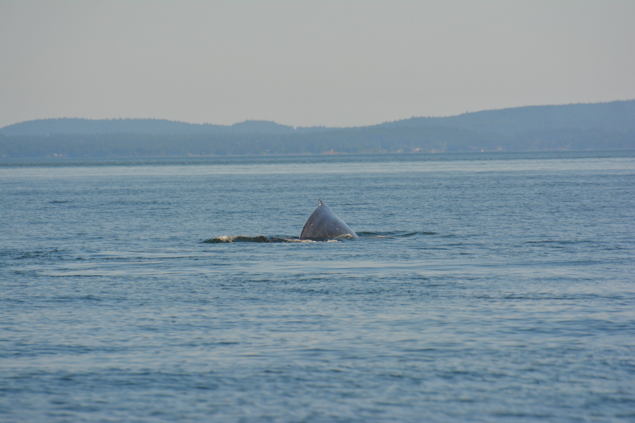 Rear view of a humpback whale's tiny dorsal fin. Photo by Val Watson