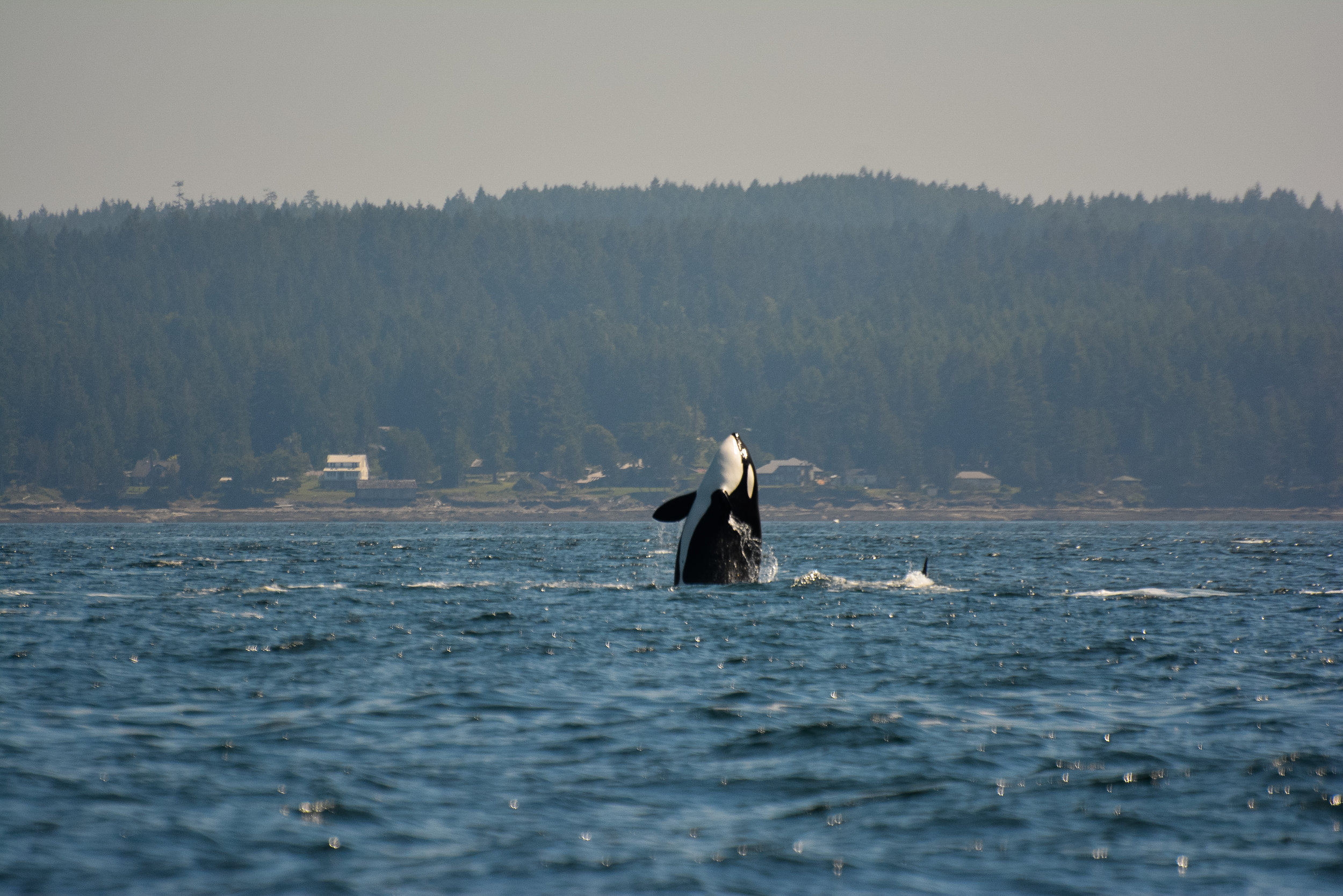 Killer whale checking out its surroundings - a behaviour known as spy hopping.