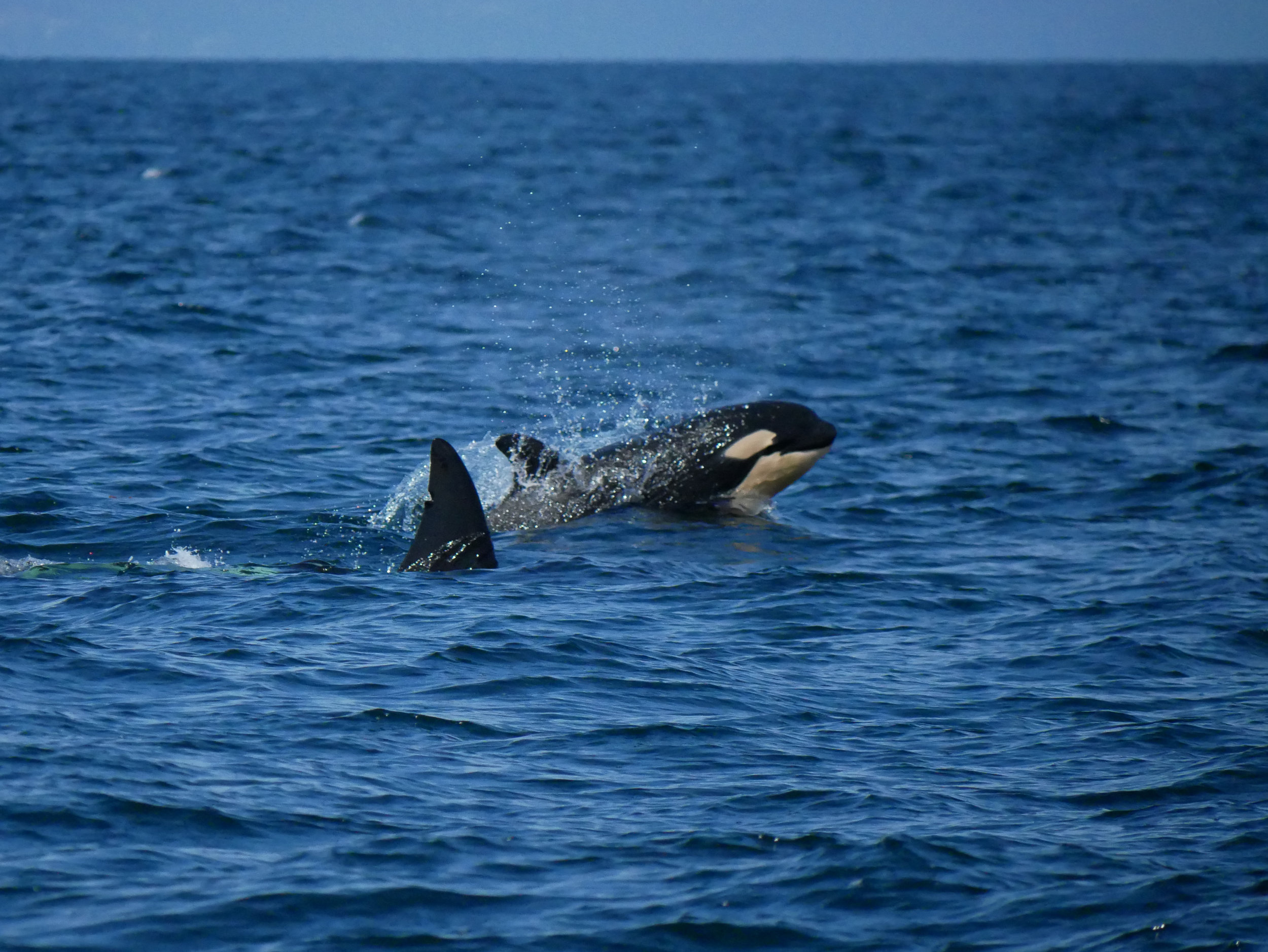 Orca calf coming up for air. This little guy has lots of learning to do and will stick very close to mom for the next couple of years. Photo by Mike Campbell.